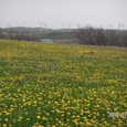 風車とタンポポ畑